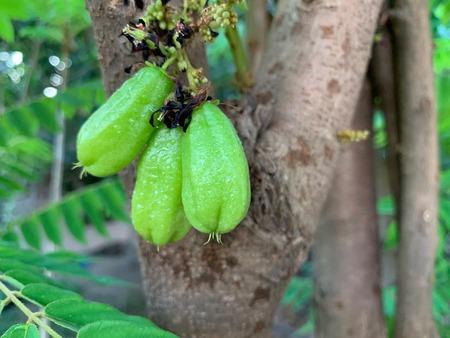 the focus of a bilimbi on the tree with branch, Bilimbing, Cucumber Tree, Averrhoa bilimbi