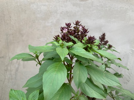 Ocimum basilicum Linn, Thai basil trees for cooking, herbs on concrete background Stockfoto