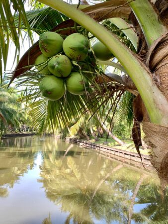 Coconut trees with a whole bunch of coconut on the pond background Reklamní fotografie