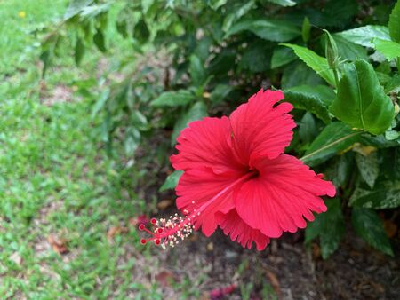 A focus of red shoe Flower or Hibiscus rosa sinensis L in the garden