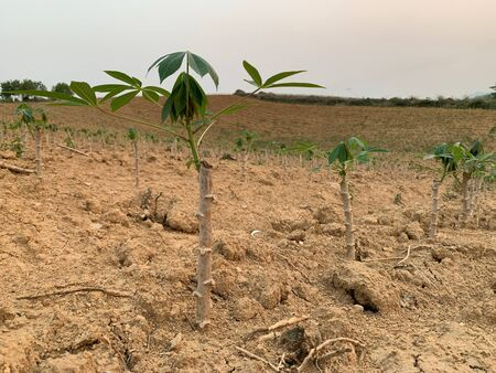 Planting rubber trees is sprouting, growing, progressing