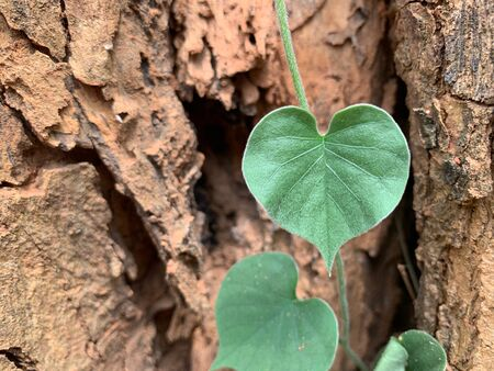 A closed up image of heart shaped leaves on a large tree trunk background