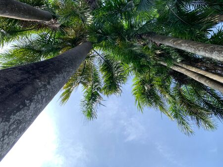 A coconut trees low angle view with cloud on a clear blue sky background