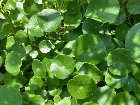 The focus image of Centella asiatica, Herbs help heal wounds faster and also help reduce inflammation of the wound.jpg Reklamní fotografie