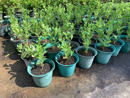 trees Nursery planting in green pots on a cement floor