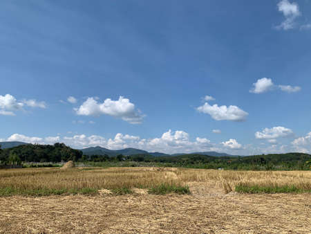 The harvested rice fields under the blue sky with cloud