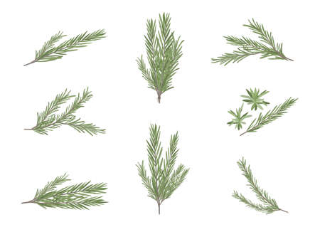 rosemary herb object for medical treatment vector isolated on white background