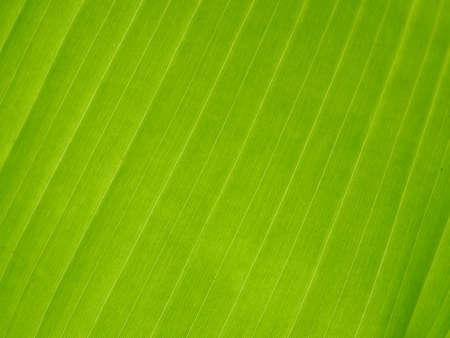 a green banana leaf texture background