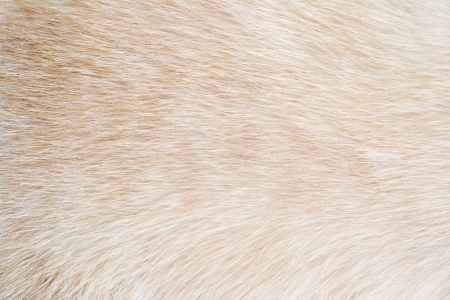 siamese cat fur photo