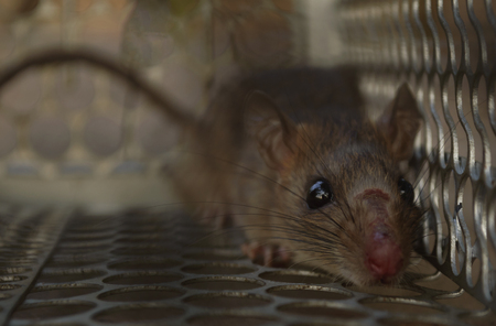 Close up of rat inside a trap looking at camera. (soft focus) Stock Photo