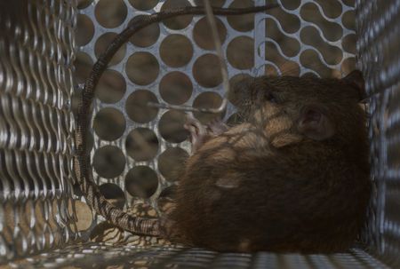 crouched: Rat crouched in a cage. (soft focus)