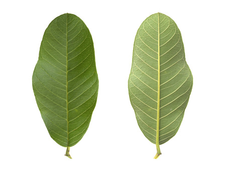 guayaba: close-up front and  back side of guava leaf on white background Foto de archivo