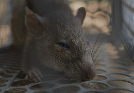 entrapment: Close up of rat in a trap looking at camera. (selective focus) Stock Photo