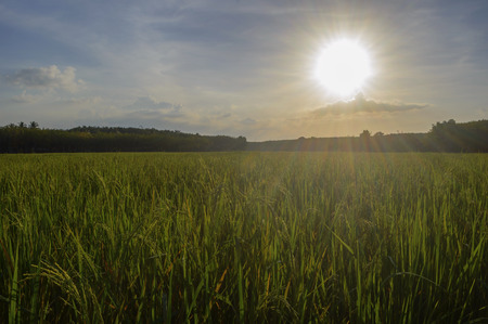 para: Paddy field and para rubber garden before sunset