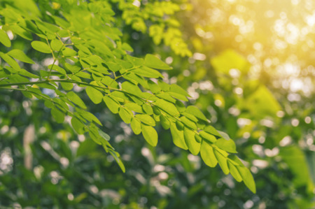 Defocused of limb and leaves moringa with sunlight in nature background.