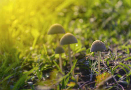 Soft focused and blurred group of small mushrooms in the green grass field.