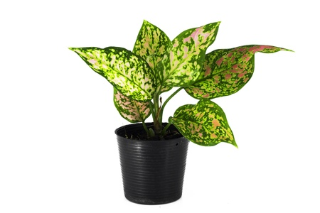 Aglaonema, beautiful tree in black pot isolated on white background