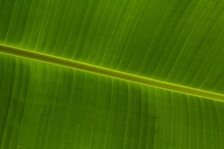 background texture of banana leaf photo