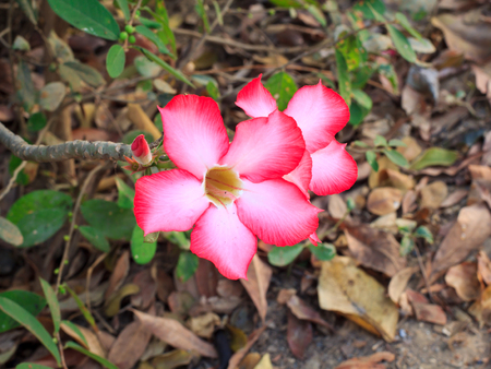 Adenium obesum  Desert Rose; Impala Lily; Mock Azalea  Stock Photo - 25844970