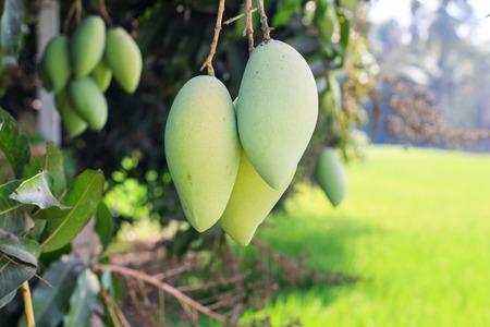 Mango on mango tree