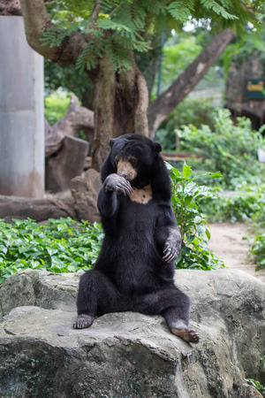A black bear in Dusit Zoo, Thailand. Stock Photo