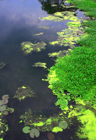 back yard pond: Pond landscaping with aquatic plants and water lilies