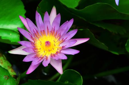 nelumbo nucifera: Beautiful lotus flower in the pond Stock Photo