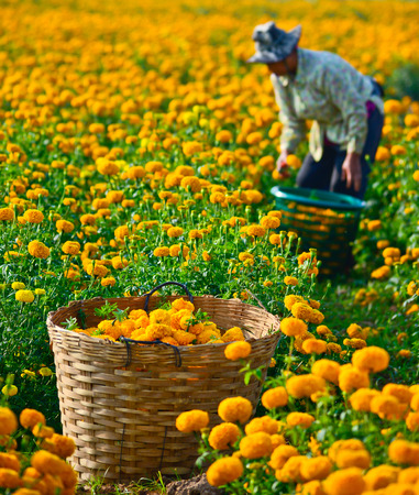 marigold field , Suhkothai - February 1   Unidentified worker is picking marigold flowers for sell to flower market in Bangkok on  February 1,2014 in Sukhothai Thailand Stock Photo - 25811375