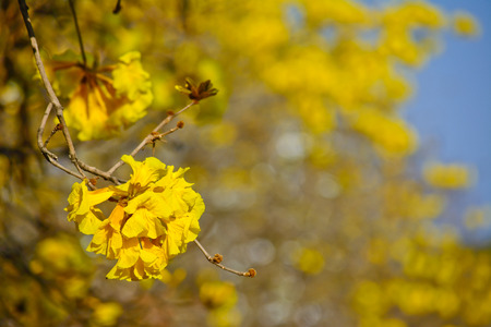 close-up golden tree flower  yellow pui  and blue sky in summer day photo
