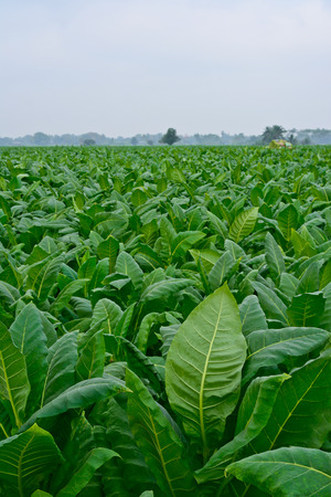 green tobacco field in thailand in cloudy day photo