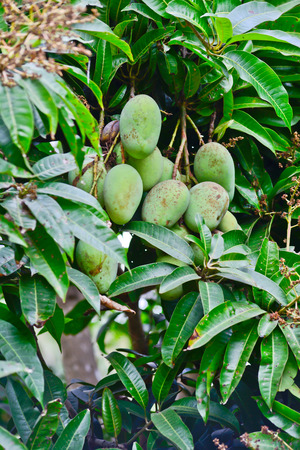 linn: choke anan mangoes hanging on tree
