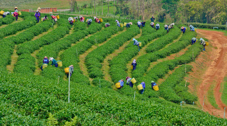 Chiang rai, Thailand - April  7   Unidentified workers are picking tea leaves in a tea garden on April 7 2014 in Chiang rai Thailand