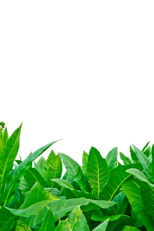green tobacco field in thailand on white background photo