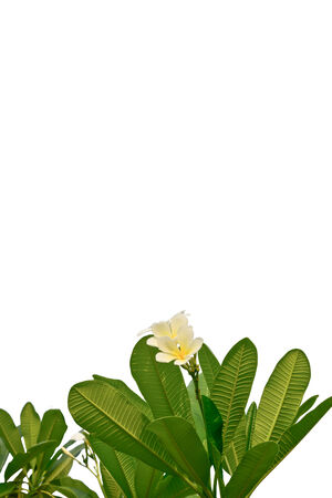 white and yellow plumeria flowers on white background photo