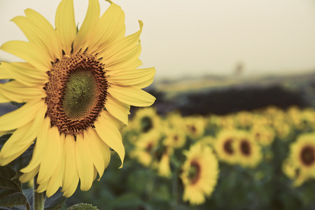 sun flowers field in Thailand with vintage filter photo