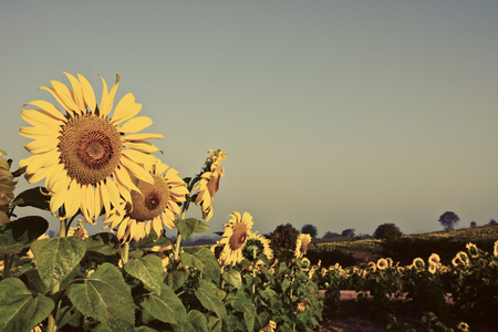 Beautiful sunflowers in the field and sky with vintage filter photo