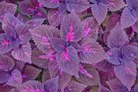 close-up of   violet color  coleus in garden photo