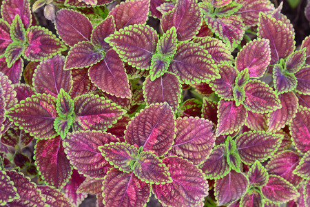 close-up of   green and violet color  coleus in garden photo