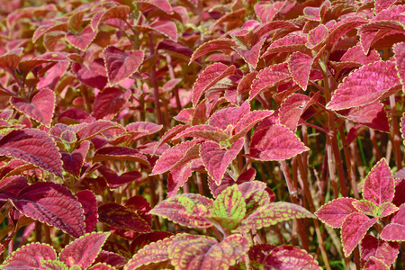 close-up of   colorful  coleus group in garden photo