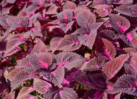 close-up of  dark violet color  coleus in garden photo