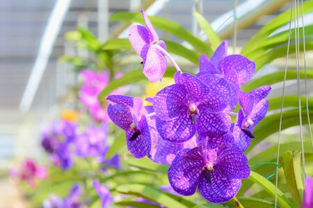shop tender: Orchid hanging in plant nursery. with soft filter and blur background Stock Photo