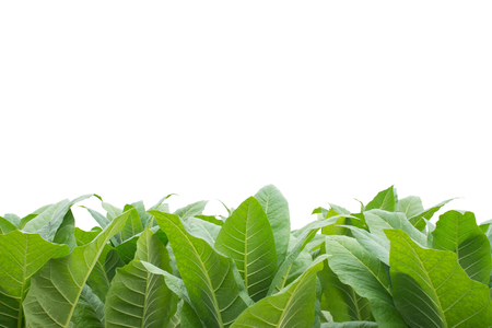 Grüne Tabakfeld, Tabakplantage; auf weißem Hintergrund.