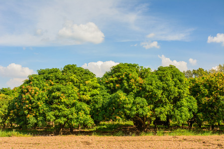 Mango field,mango farm with blue sky background. Agricultural industry concept.