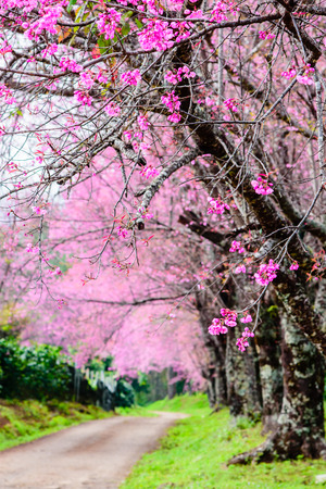 Landscape of wild himalayan cherry blossom beautiful pink sakura landscape of wild himalayan cherry blossom beautiful pink sakura flower with blur background stock mightylinksfo