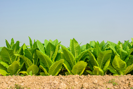 Green tobacco field with plain blue sky background.Tobacco plantation for  Agricultural industry.
