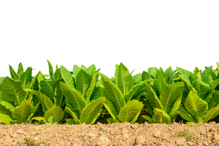 Green tobacco field on white background.