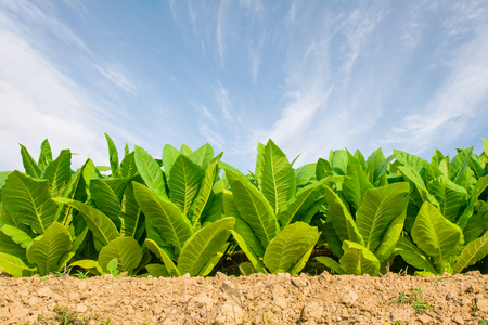 Green tobacco field with blue sky background.Tobacco plantation.