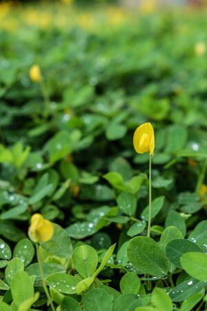arachis: Arachis pintoi