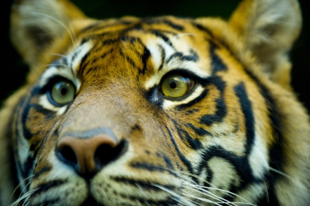 Close up portrait of a tigers face Standard-Bild