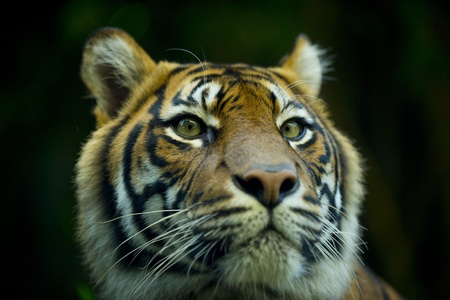 Close up portrait of a tigers face Stock Photo